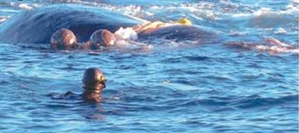 Rescataron una ballena atrapada en una red de pesca